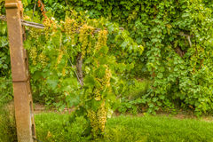 Cascade of grapes in a vineyard Stock Images