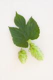 Cascade Hops Pair Isolated on White Royalty Free Stock Images