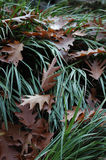 Cascade of leafs. A cascade of brown leaves in green grass Royalty Free Stock Photos