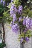 Cascade purple wisteria vine Royalty Free Stock Images