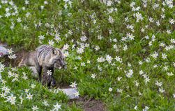 Cascade Red Fox with Fresh Kill in Field. Of Avalanche Lilies Stock Photos