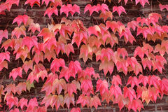 Cascade of Red Leaves Closeup Royalty Free Stock Photography