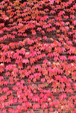 Cascade of Red Leaves Royalty Free Stock Images