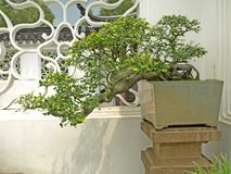 Cascade style bonsai Royalty Free Stock Photo