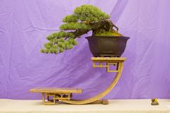 Apanese White Pine Bonsai in training in Northern Ireland and on display at the Belfast spring festival at Barnetts Demesne in Apr. Cascade style Japanese White royalty free stock image