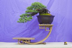 Japanese White Pine Bonsai in training in Northern Ireland and on display at the Belfast spring festival at Barnetts Demesne in Ap. A cascade style Japanese royalty free stock photography