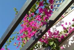 Cascade van Bougainvilleabloemen die van een balkon hangen royalty-vrije stock afbeeldingen