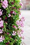 Cascadegeranium (ooievaarsbekpeltatum) Stock Foto