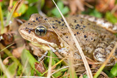 Cascades Frog in the Grass Royalty Free Stock Images