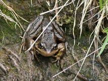 Cascades Frog - Rana cascadae Stock Photo