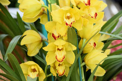 Growing Cymbidium Orchids or Boat Orchid multiple blooms Stock Image