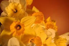 Cascading daffodils Royalty Free Stock Image