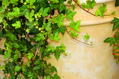 Cascading Ivy. Ivy over a pot stock images