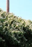 Cascading overgrowth of invasive Japanese knotweed in autumn bloom. Vertical aspect Royalty Free Stock Photo