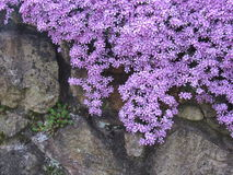 Cascading phlox on a stone wall Royalty Free Stock Photography