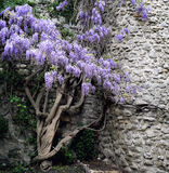 Cascading purple wisteria Stock Images