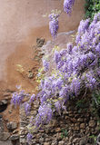 Cascading purple wisteria vine Royalty Free Stock Photos