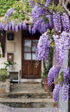Cascading purple wisteria vine Stock Photos