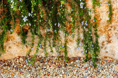 Cascading Rosemary. Rosemary over a wall stock image