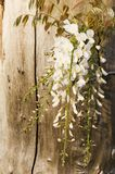 Cascading White Wisteria  Royalty Free Stock Photos