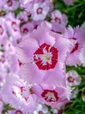 Cascadingly blooming pink flowers. royalty free stock photo