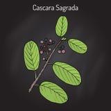 Cascara sagrada Rhamnus purshiana , or persian bark, medicinal plant Royalty Free Stock Image