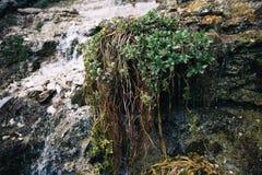Cascata della montagna con muschio e l'edera fondo della cascata e della montagna Fotografia Stock