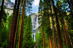 Cascate di Yosemite dietro le sequoie in parco nazionale di Yosemite, California