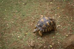 Cascavelle, Mauritius, Baby Tortoise have a morning walk in the park stock photo