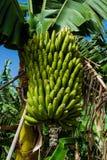 Casco di banane contro le foglie verdi alla piantagione, banane color giallo canarino, Tenerife Immagini Stock