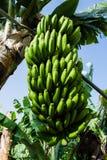 Casco di banane contro le foglie verdi alla piantagione, banane color giallo canarino, Tenerife Fotografie Stock
