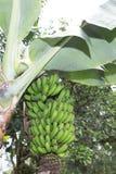 Casco di banane sul banano fotografia stock libera da diritti