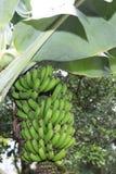 Casco di banane sul banano immagini stock libere da diritti