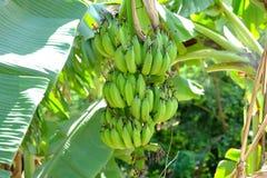 Casco di banane sull'albero Fotografia Stock Libera da Diritti