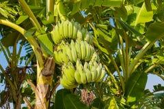 Casco di banane sulla palma in tropici Immagini Stock