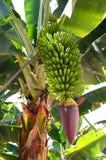 Casco di banane sulla piantagione sull'isola di Tenerife Immagine Stock