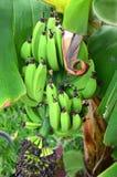 Casco di banane sulla piantagione sull'isola di Tenerife Immagine Stock Libera da Diritti