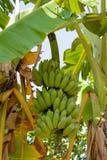 Casco di banane verde sulla palma in tropici Immagini Stock Libere da Diritti