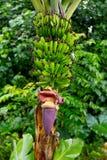 Casco di banane vicino a Hana Highway, Maui, Hawai Immagine Stock Libera da Diritti