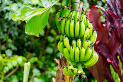 Casco di banane vicino a Hana Highway, Maui, Hawai Fotografia Stock