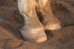 Casco do cavalo e vista pastern no litoral imagem de stock royalty free