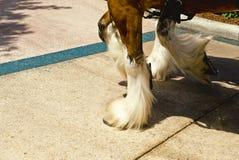 Cascos de Clydesdale fotografia de stock royalty free