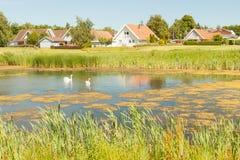 Cigni in Danimarca Fotografia Stock Libera da Diritti