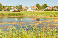 Cigni in Danimarca Immagini Stock
