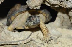 Casella turtle2 del litorale del golfo Immagine Stock