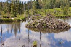 Casetta del castoro di canadensis della macchina per colata continua nelle zone umide di taiga Fotografia Stock