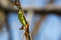 Caseworm da lagarta na árvore Imagem de Stock Royalty Free
