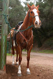 Casey. Trail horse standing tied up after ride royalty free stock images
