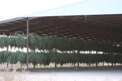 Cash Crop. In Colorado you can see Marijuana hanging to dry, right out in the opening Stock Photos