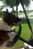 Cash the Jack Russell terrier driving a golf cart- dog driving golf cart. Cute dog driving golf cart stock photography